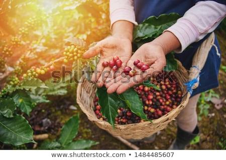 Fresche rosso frutti di bosco chicchi di caffè mano mani Foto d'archivio © galitskaya