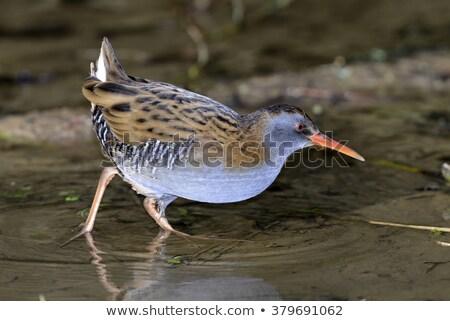 Agua rail aves Foto stock © chris2766