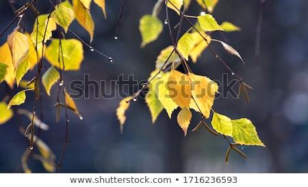 Citromsárga levelek nyírfa ősz színek Stock fotó © Mps197