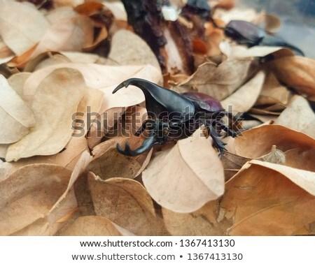 Beetle on a Dry Leaf Stock photo © rhamm