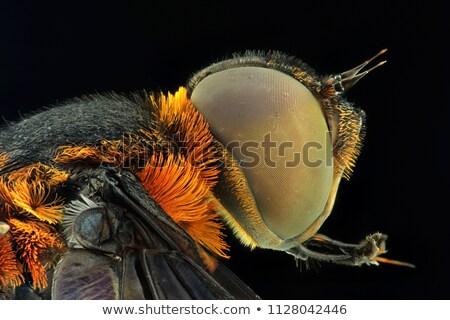 Green Eyed Fly Stock photo © derocz