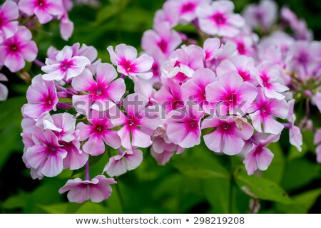 Flowering phlox on a background of green foliage Stock photo © ultrapro