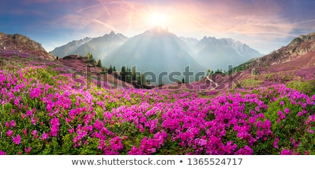 Rhododendron flowers in the meadow in the mountains Stock photo © Kotenko