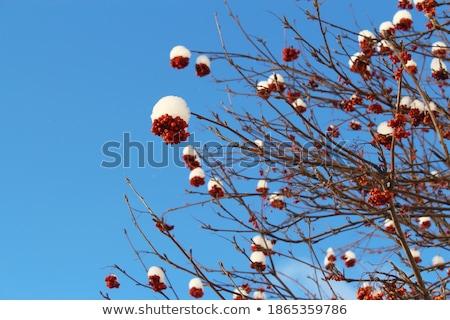 белый мороз дерево синий заморожены Сток-фото © lightkeeper