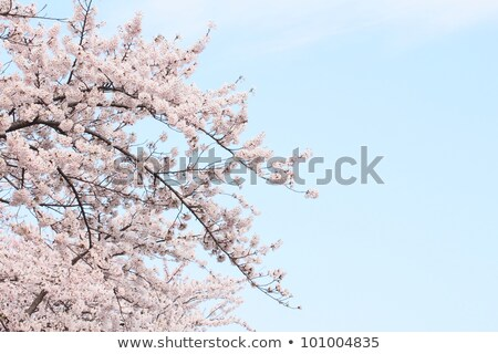cherry blossom in Touhoku Stock photo © yoshiyayo