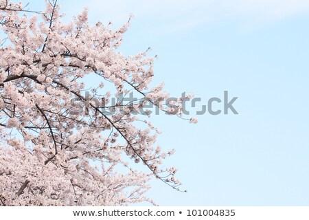 cherry blossom in Touhoku Stock photo © yoshiyayo