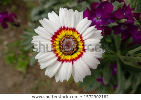 Witte daisy bloem prins Rood Geel Stockfoto © stocker