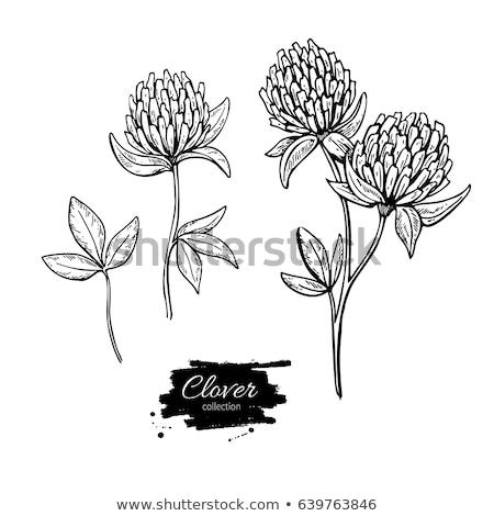 fioritura · trifoglio · campo · vicino · view · nuvoloso - foto d'archivio © chris2766