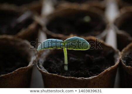 Jonge vers kiemplant natuur blad plant Stockfoto © Virgin