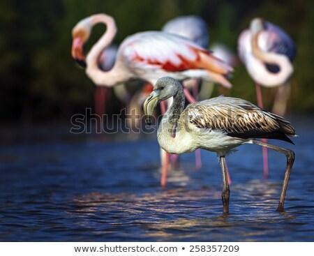 Young greater flamingo, phoenicopterus roseus, Camargue, France Stock photo © Elenarts