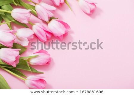 rosa · holandés · tulipanes · primer · plano · blanco - foto stock © hofmeester