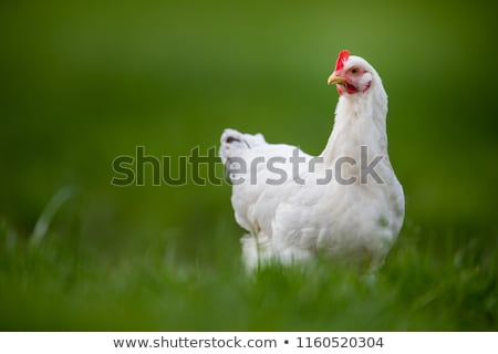 Hens in a farmyard (Gallus gallus domesticus) Stock photo © lightpoet