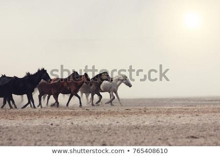 horse gallop at sunset Stock photo © adrenalina