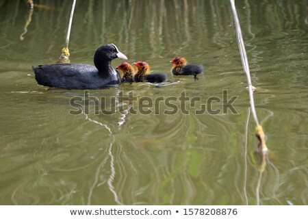 the eurasian coot fulica atra also known as coot stock photo © lightpoet