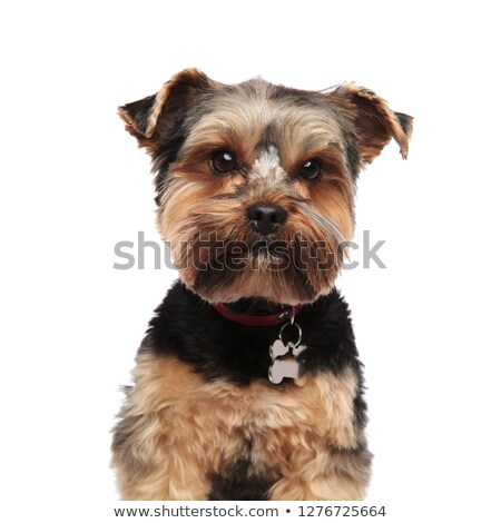 close up of adorable yorkie wearing red collar Stock photo © feedough