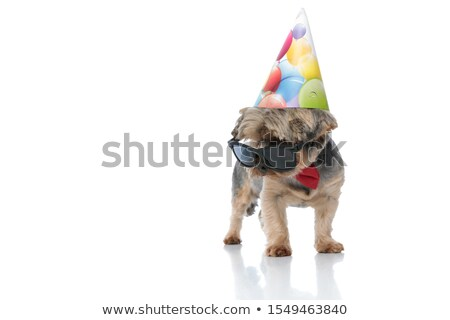 elegant birthday yorkshire terrier wearing sunglasses standing Stock photo © feedough