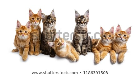 Row / group of seven multi colored Maine Coon cat kittens isolated on white background  Stock photo © CatchyImages