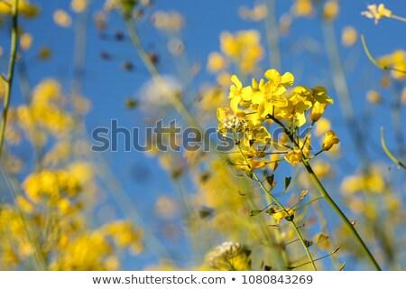 yellow colza with nice depth of field Stock photo © gewoldi