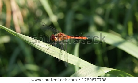 Ruddy Darter Dragonfly  (Sympetrum sanguineum) Stock photo © chris2766