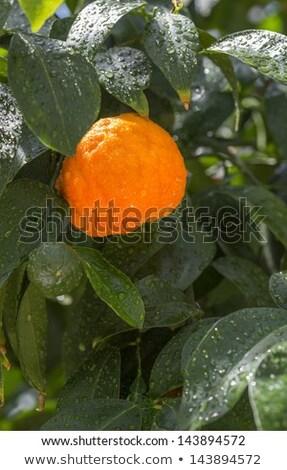 Aurantium citrus fruits hanging on a tree Stock photo © haraldmuc