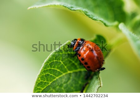 colorado beetle larva Stock photo © Mikko