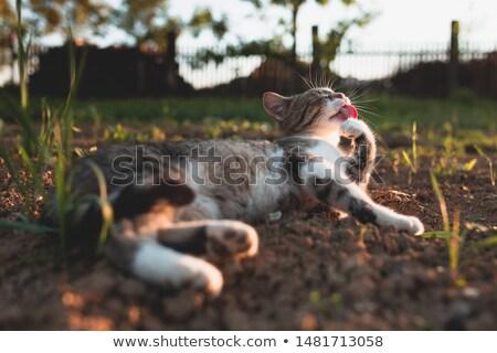 кошки · серый · ПЭТ · рот · широкий - Сток-фото © meinzahn