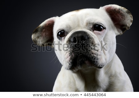 Stock photo: white french bulldog with funny ears posing in a dark photo stud