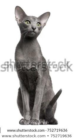 Stockfoto: Cute Oriental Shorthair Kitten On White