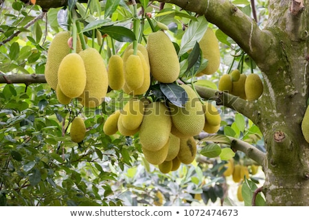 Jack fruits hanging at trees in a tropical fruit garden Stock photo © boggy