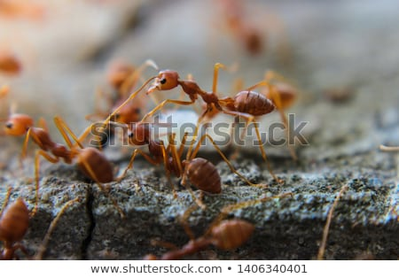Red forest ant macro close up Stock photo © cookelma