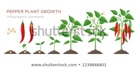 Chilli növények étel háttér piros piac Stock fotó © antonihalim
