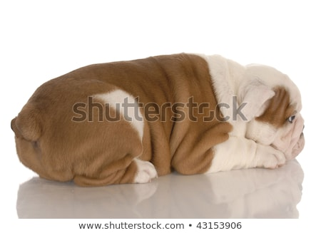 eight week old english bulldog puppy pouting with reflection on white background Stock photo © willeecole