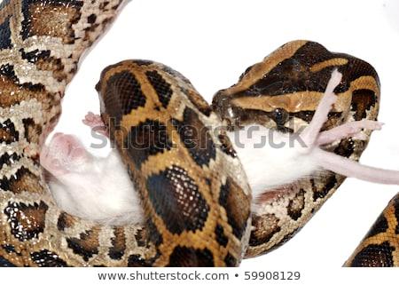 mais · serpente · mangiare · mouse · bianco - foto d'archivio © cynoclub