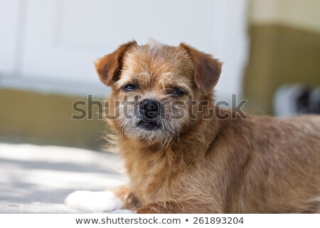 Very old Border Terrier in a garden Stock photo © CaptureLight