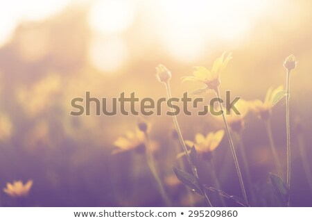 Yellow daisies with soft filtered light Stock photo © Sandralise