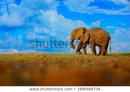 An Elephant drinking. Stock photo © simoneeman