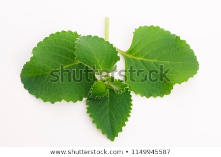 plectranthus amboinicus or mexican mint or tigers ear plant stock photo © joannawnuk