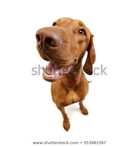 Close portrait of an adorable hungarian vizsla Stock photo © vauvau