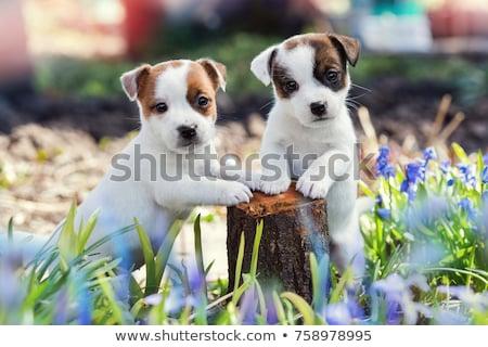 kettő · kiskutyák · kutya · kanapé · amerikai · háttér - stock fotó © willeecole