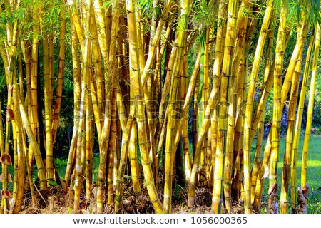 Yellow Bamboo Forest with Sunny Background Stock photo © maxpro