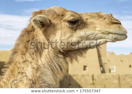 Stockfoto: Dromedar In Morocco North Africa