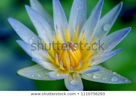 Közelkép liliom vízcsepp fehér stúdió természetes Stock fotó © pictureguy