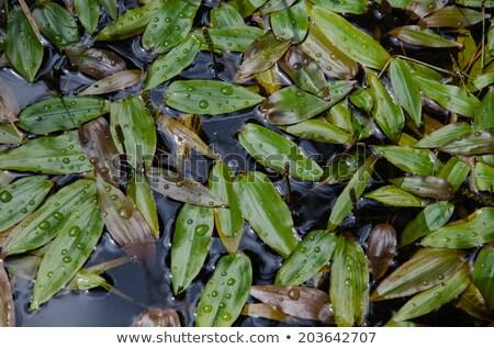 Flutuante folhas superfície da água alpino superfície rio Foto stock © Mps197