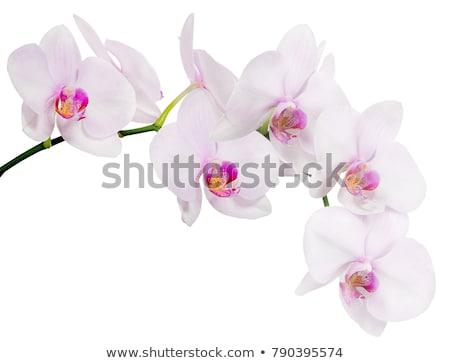 макроса · белый · фиолетовый · орхидеи · цветы · изолированный - Сток-фото © stoonn