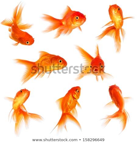 Ouro peixe fundo laranja oceano cor Foto stock © Fesus