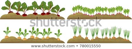 kırmızı · pancar · büyüyen · sebze · bahçe · derin - stok fotoğraf © popaukropa