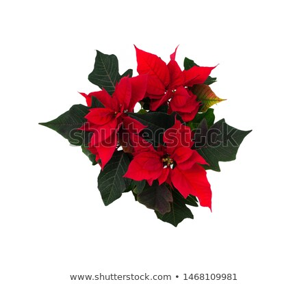 Beautiful red poinsettia plant isolated on white  Stock photo © wildman