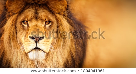 Stock photo: Portrait of a wild majestic male lion