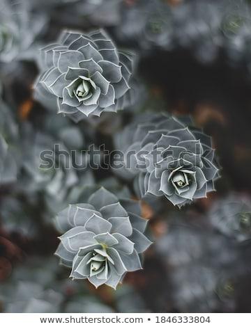 詳細 青 サボテン 自然 砂漠 緑 ストックフォト © boggy