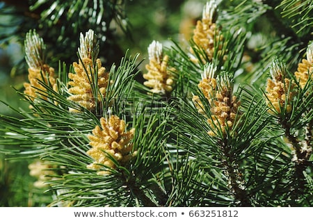 inflorescence of pine stock photo © mironovak